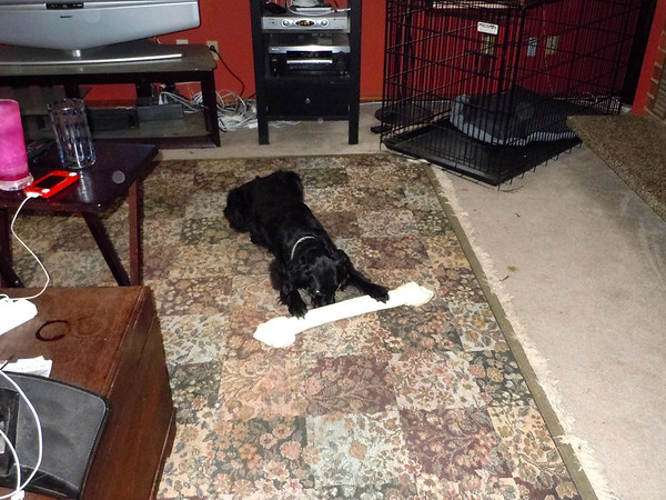 Xmas present for Luna - the ginormous bone.